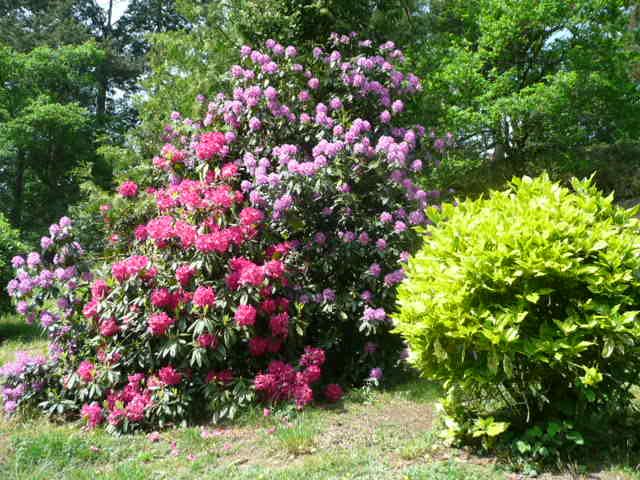 Jardin, Rhododendron