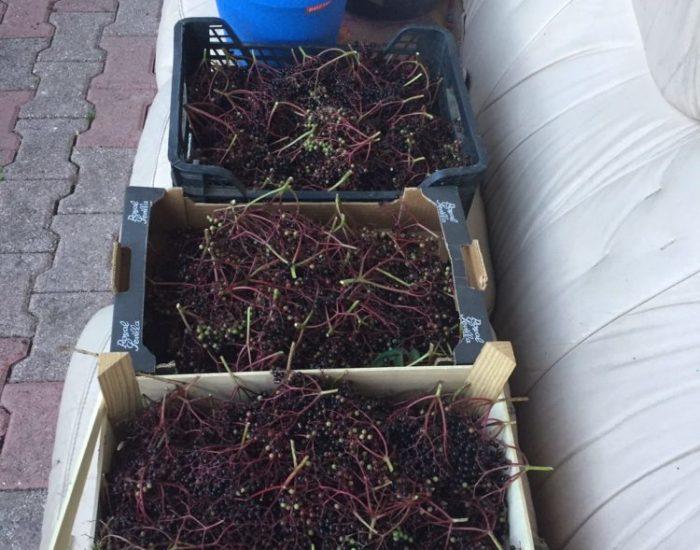 confiture : cueillette des baies de sureau