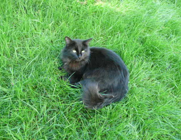Qu'il est joli mon chat Carbone tout noir dans la verdure du jardin !