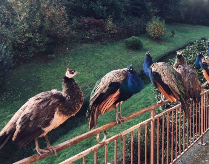 Les paons se perchent sur le balcon à l'entrée