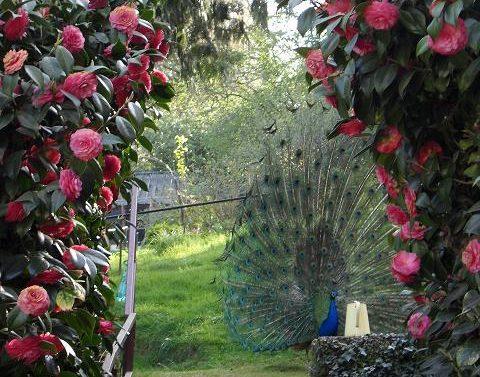 Mon bel oiseau fait la roue au milieu des camélias : venez vois les paons au printemps à la Villa Tranquillité !