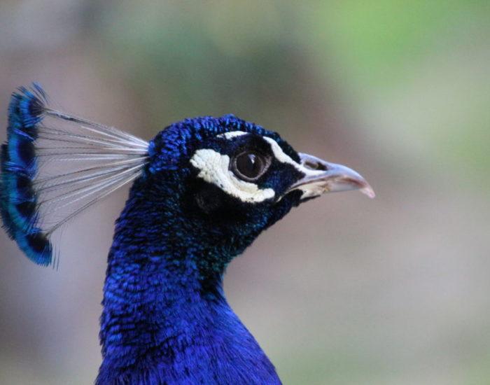 Mon bel oiseau : gros plan sur la tête de mon paon
