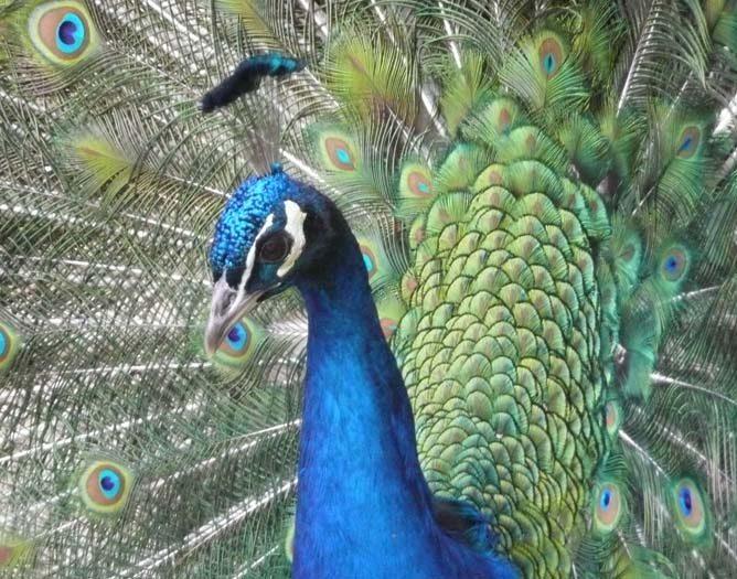 Mon bel oiseau fait la roue : venez vois les paons au printemps à la Villa Tranquillité !