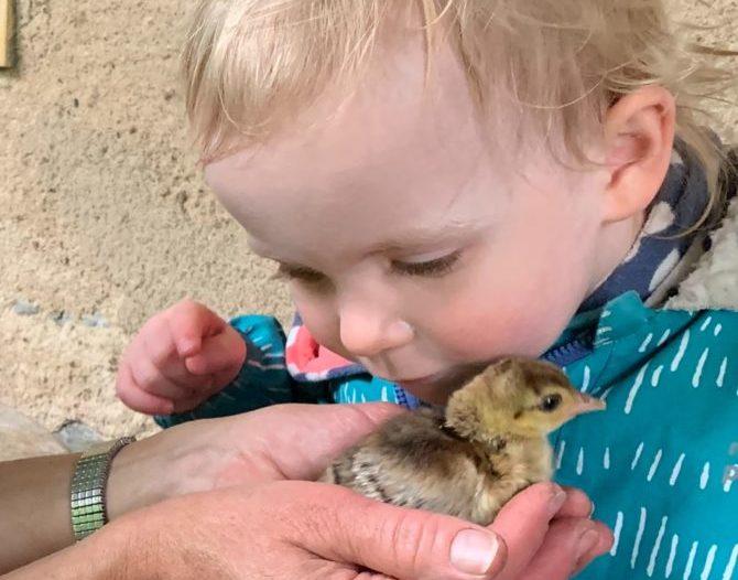 Un petit poussin paon vient de naître, et un enfant vient lui faire un bisou
