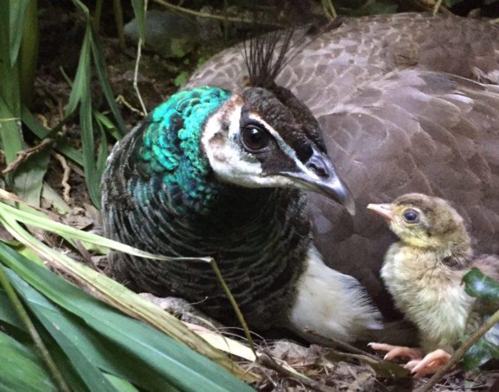 Maman paonne avec son petit poussin qui vient de naître